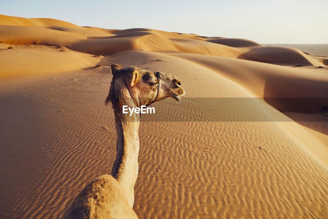 mammal, sand, desert, domestic animals, sand dune, animal themes, land, animal, climate, arid climate, pets, vertebrate, one animal, domestic, camel, nature, scenics - nature, no people, landscape, tranquility, herbivorous