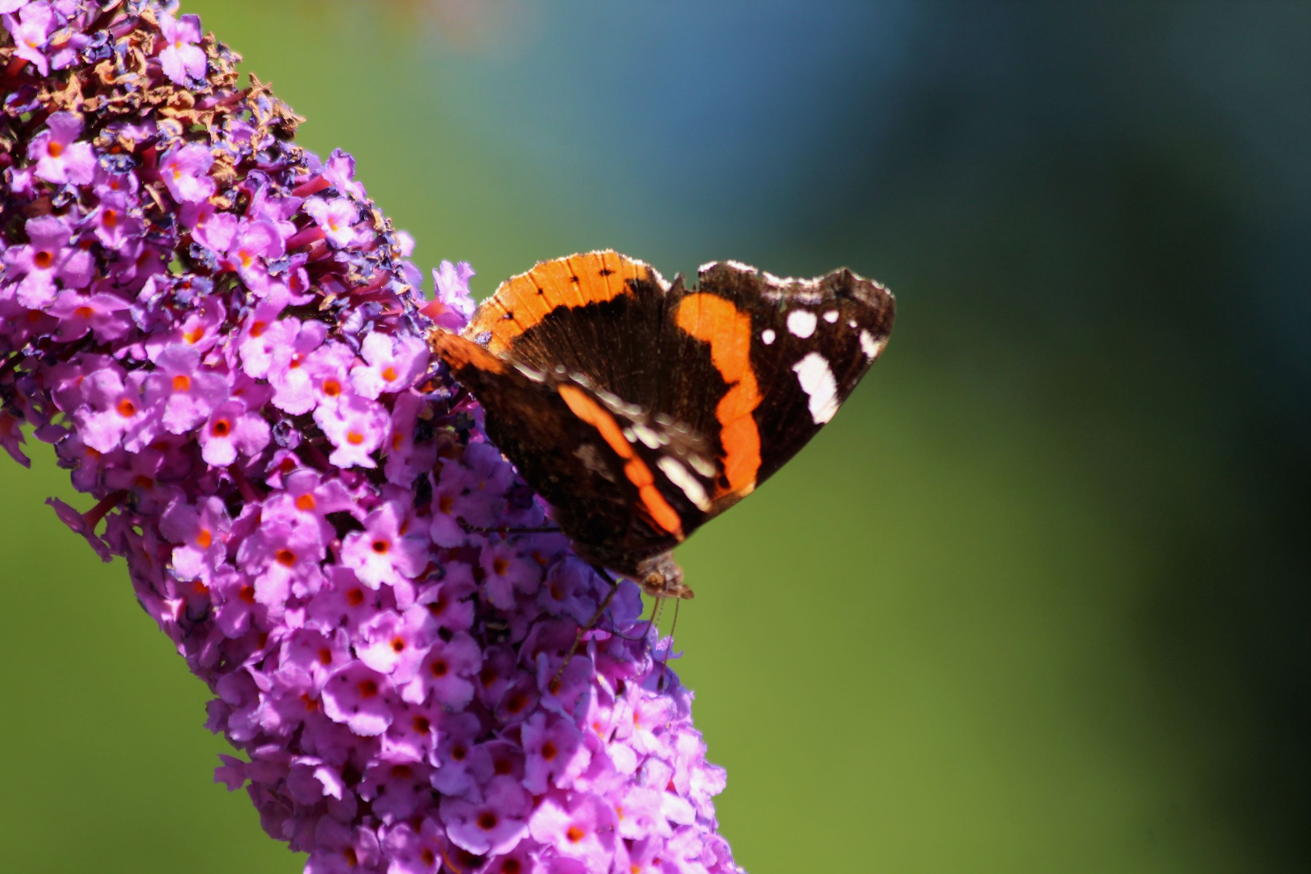 CLOSE-UP OF BUTTERFLY POLLINATING ON PURPLE