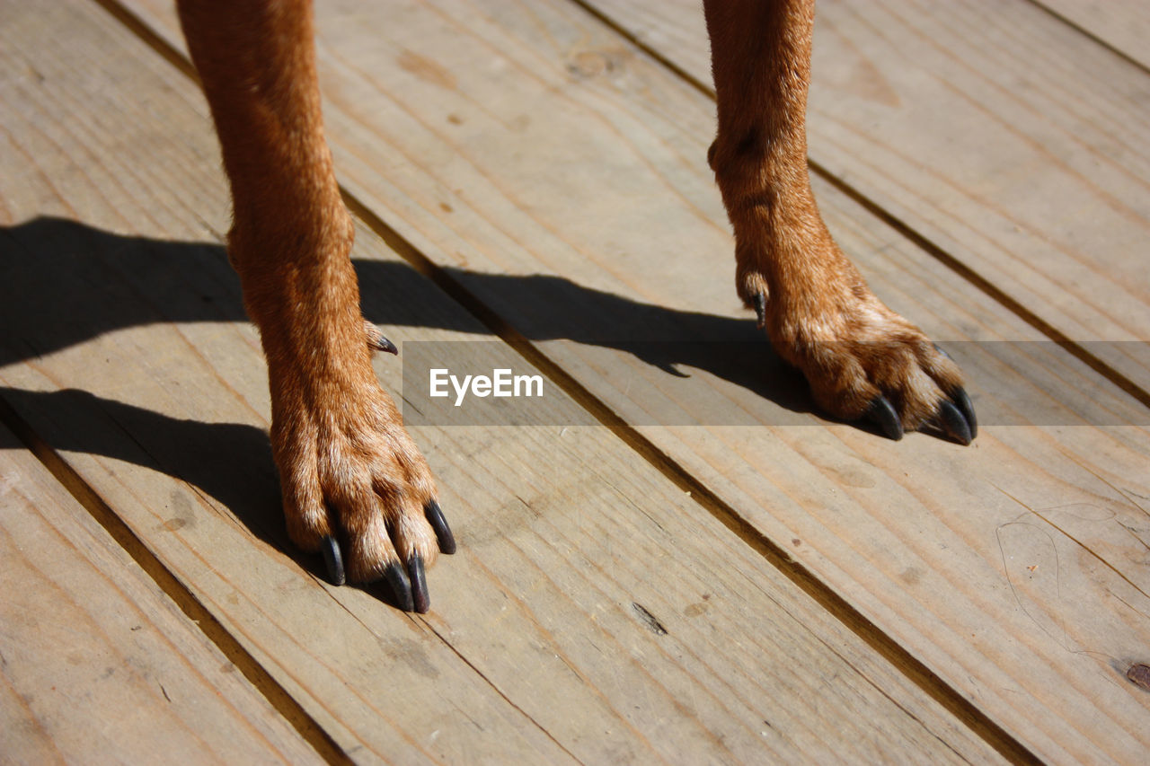 Two brown hairy paws of a little dog with long black nails on wooden boards