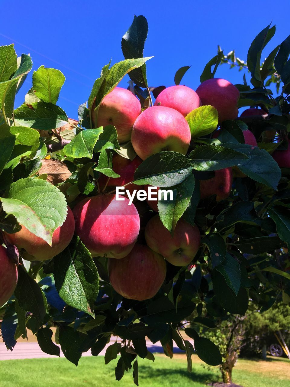 Best apple crop ever! Delicous Apples Beauty In Nature Branch Close-up Day Food Freshness Fruit Green Color Growth Healthy Eating Leaf Low Angle View Nature No People Outdoors Red Tree