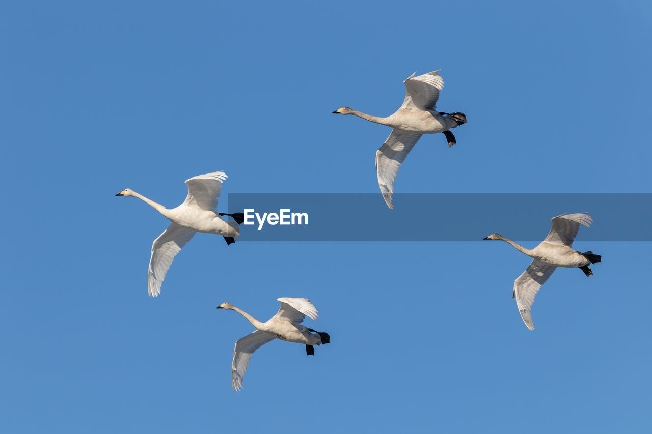 animals in the wild, group of animals, animal wildlife, animal themes, flying, bird, vertebrate, animal, sky, low angle view, spread wings, mid-air, blue, no people, clear sky, day, nature, seagull, white color, medium group of animals, flock of birds