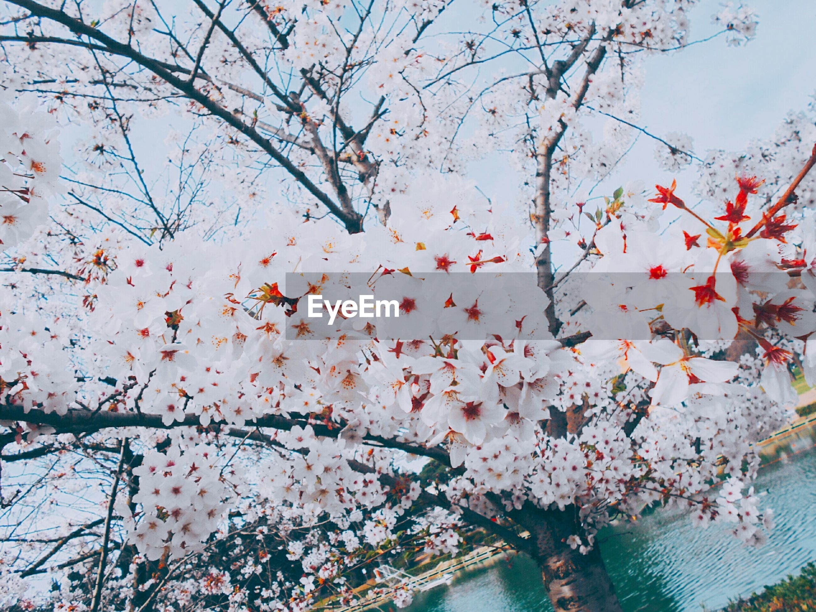 cherry blossom, tree, springtime, branch, flower, blossom, beauty in nature, cherry tree, growth, nature, freshness, fragility, day, outdoors, orchard, twig, no people, plum blossom, close-up, blooming, sky