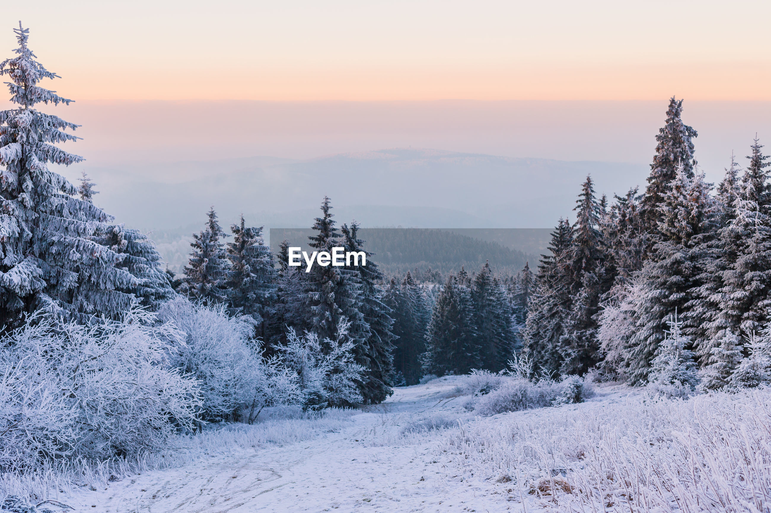Pine trees on snow covered land against sky during sunset