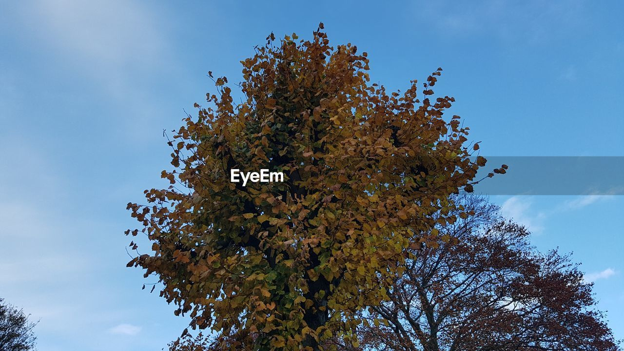 tree, plant, sky, low angle view, beauty in nature, growth, autumn, branch, change, day, nature, no people, tranquility, outdoors, cloud - sky, blue, scenics - nature, tranquil scene, leaf, sunlight