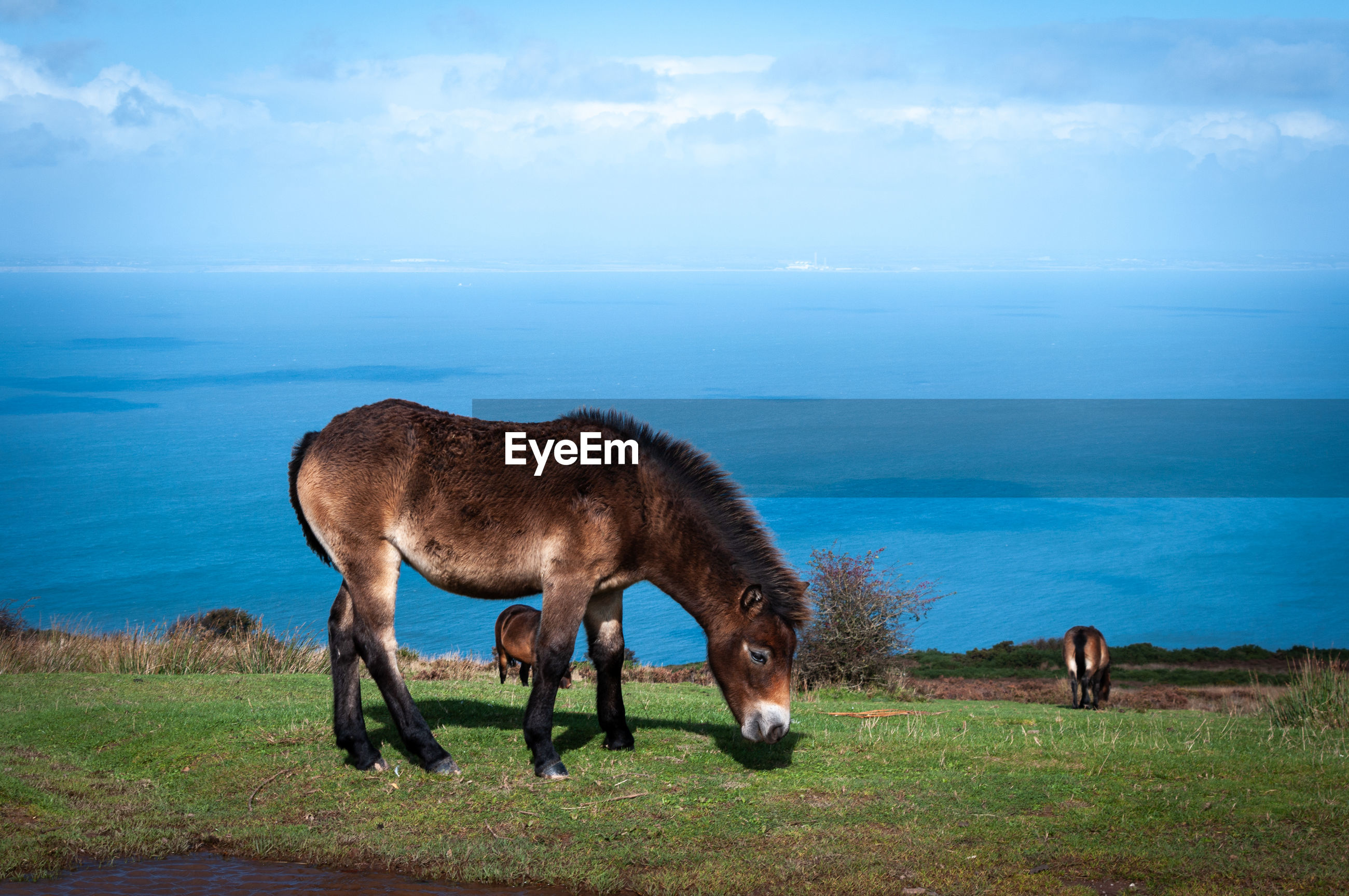Exmoor ponies grazing and roaming free by the sea in somerset on exmoor national park