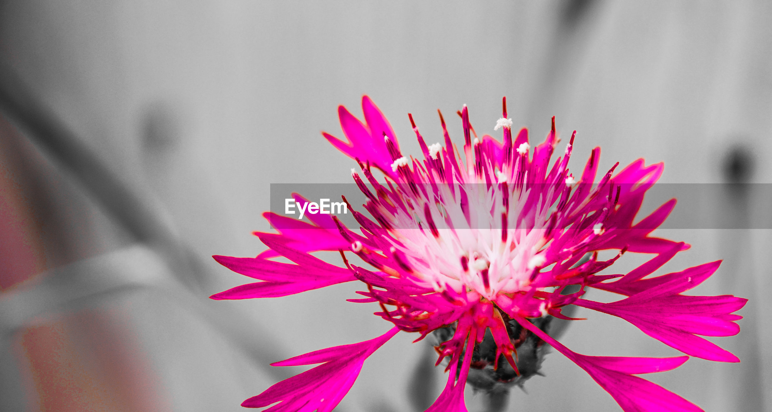flower, petal, fragility, pink color, close-up, beauty in nature, flower head, nature, freshness, focus on foreground, no people, day, growth, outdoors
