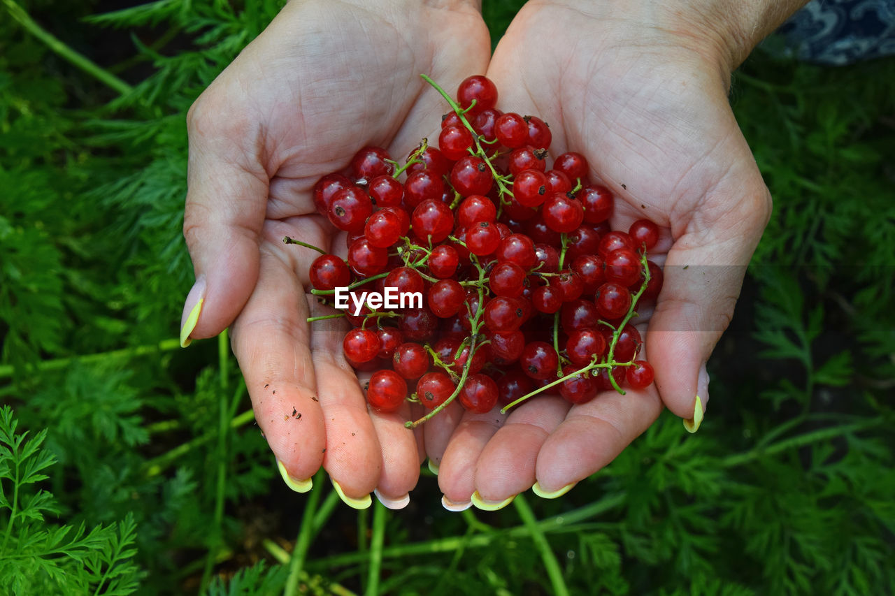 Cropped Hands Holding Redcurrant