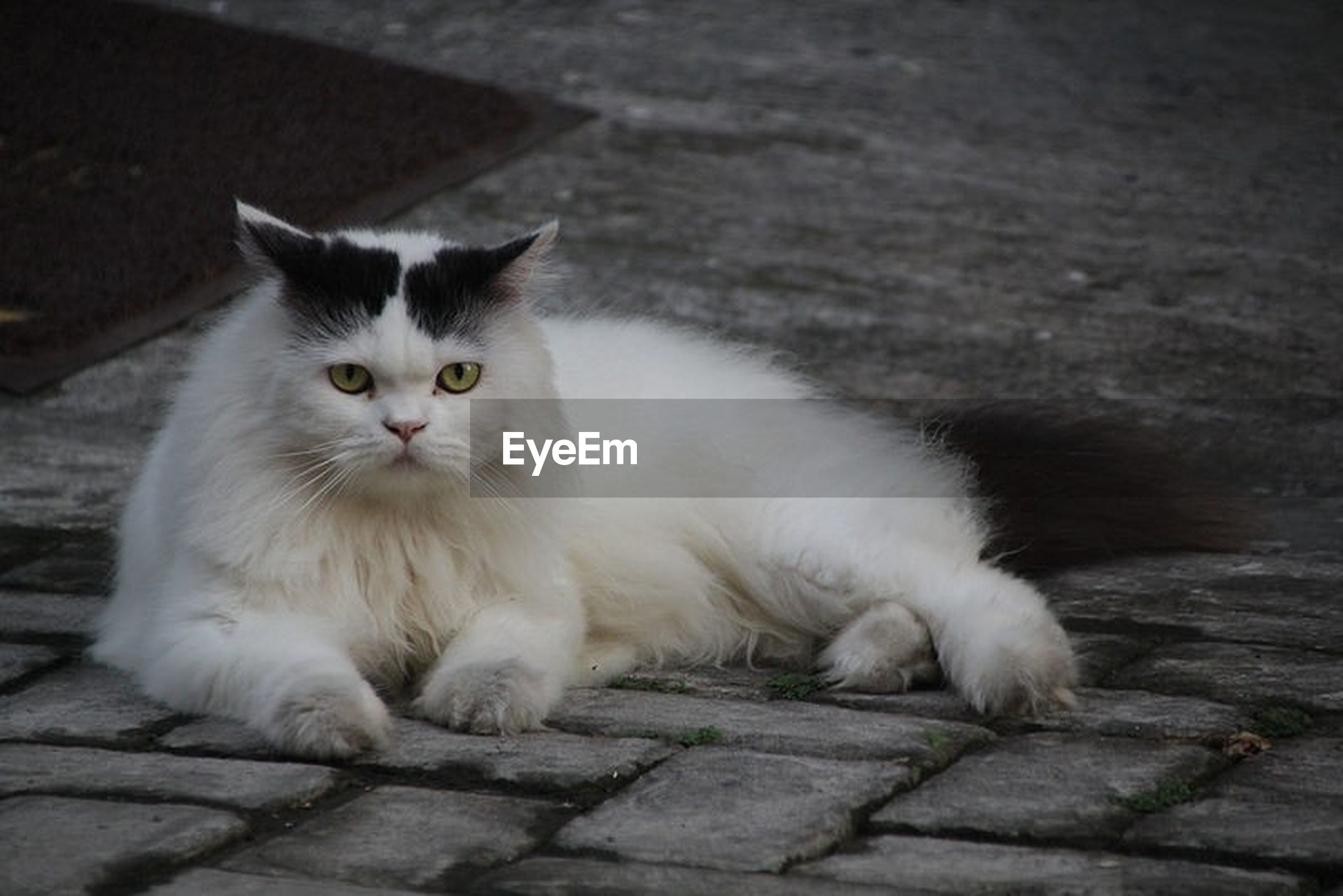 cat, domestic, pets, domestic cat, feline, domestic animals, mammal, one animal, vertebrate, portrait, relaxation, no people, looking at camera, white color, sitting, whisker, footpath, animal eye