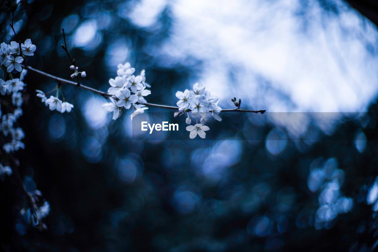 flower, fragility, nature, springtime, beauty in nature, branch, tree, focus on foreground, blossom, no people, twig, day, outdoors, growth, low angle view, close-up, flower head, blue, freshness, blooming