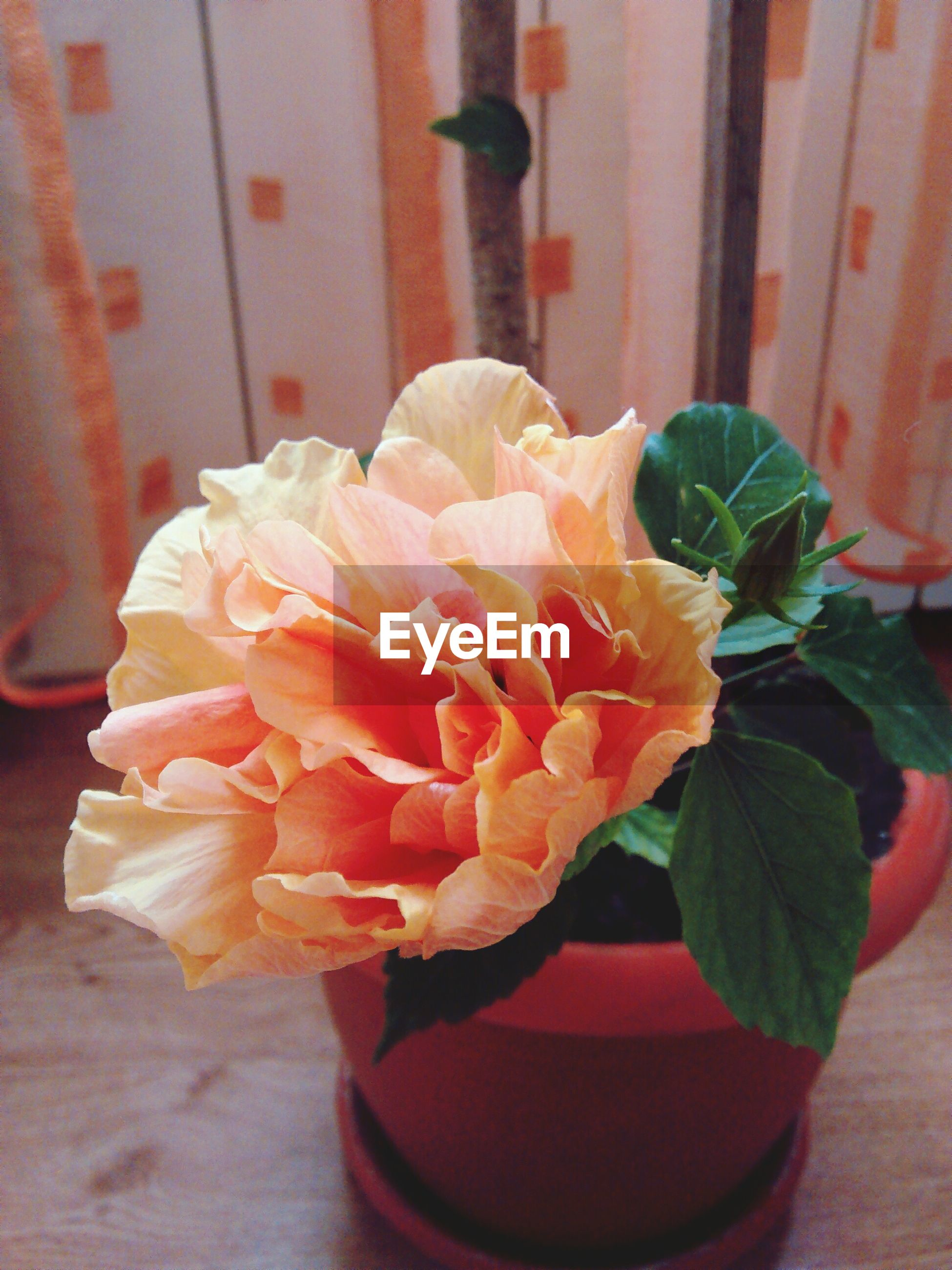 flower, fragility, nature, petal, beauty in nature, flower head, freshness, no people, plant, growth, close-up, blooming, day, coral colored, indoors