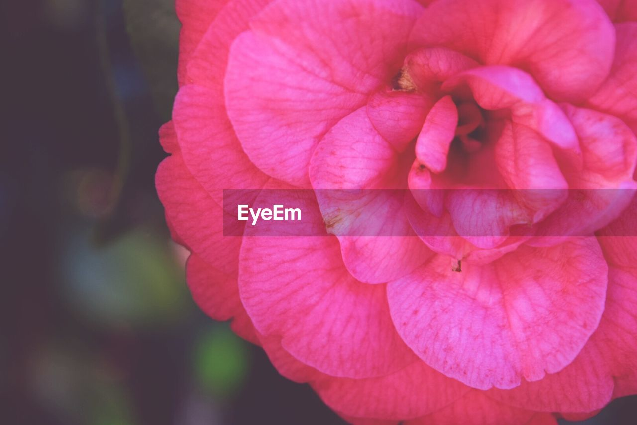 flower, petal, flower head, beauty in nature, nature, fragility, pink color, close-up, outdoors, day, growth, freshness, plant, no people, blooming