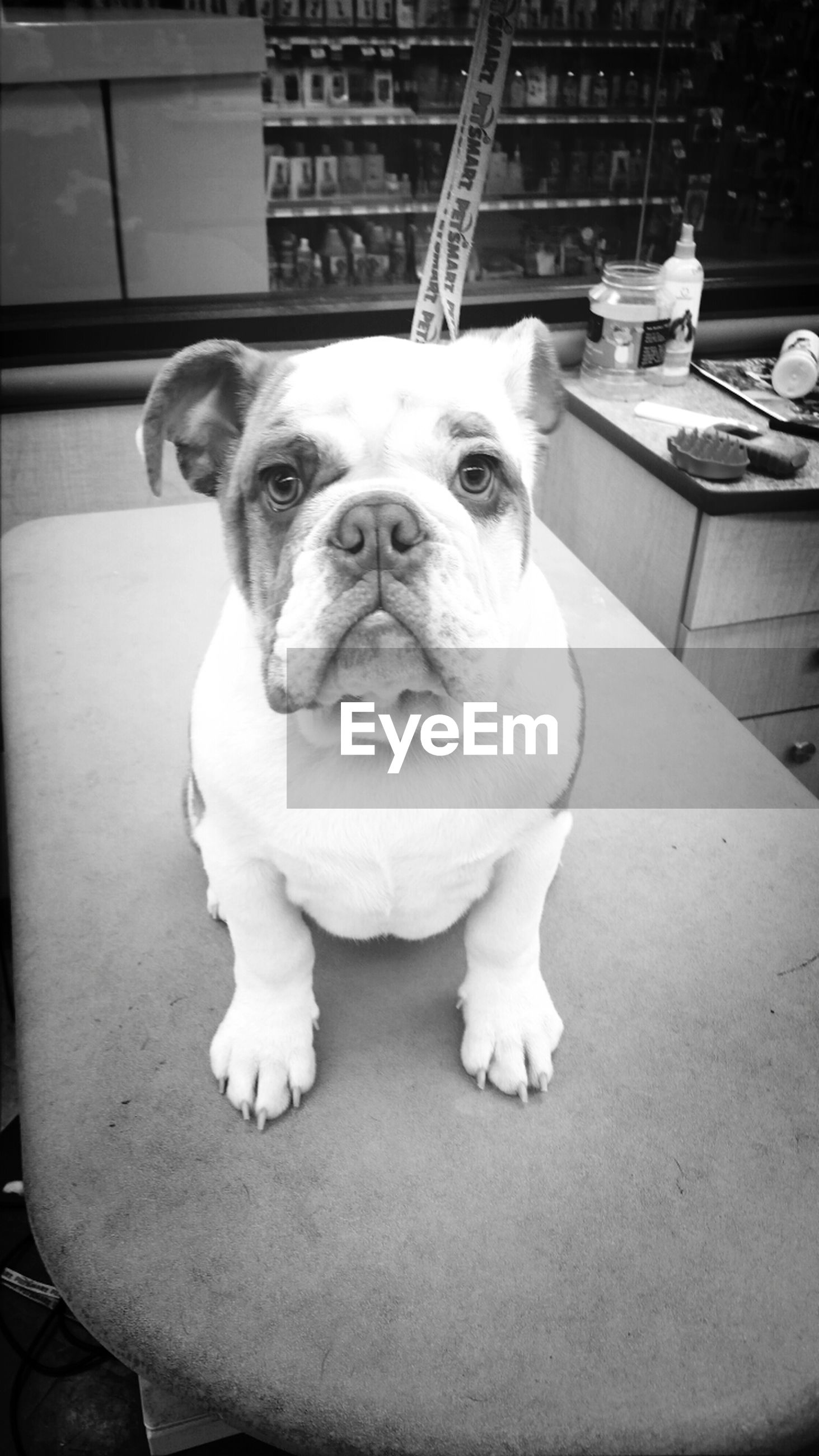 dog, pets, domestic animals, animal themes, one animal, mammal, looking at camera, portrait, indoors, sitting, relaxation, high angle view, full length, pet collar, flooring, no people, puppy, zoology, cute, day