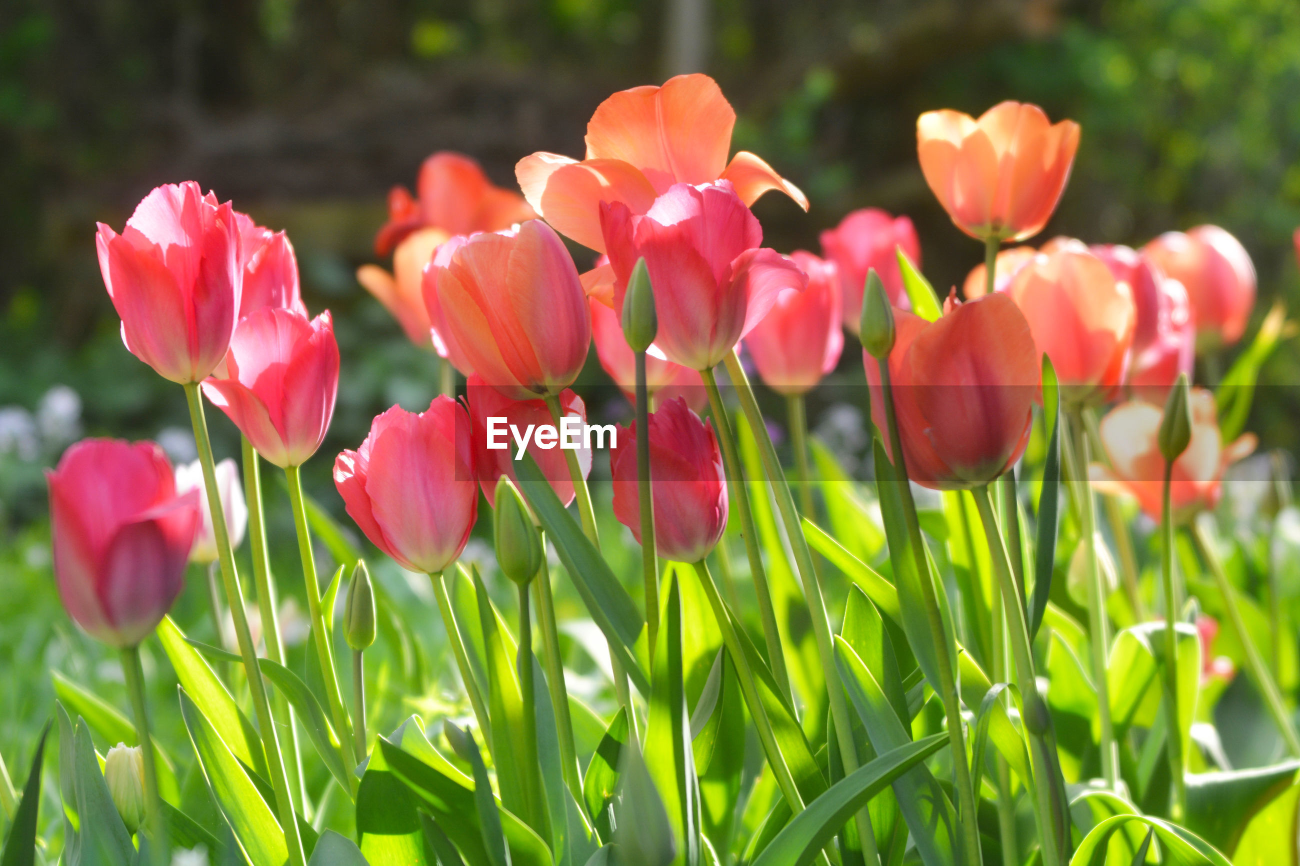 CLOSE-UP OF TULIPS