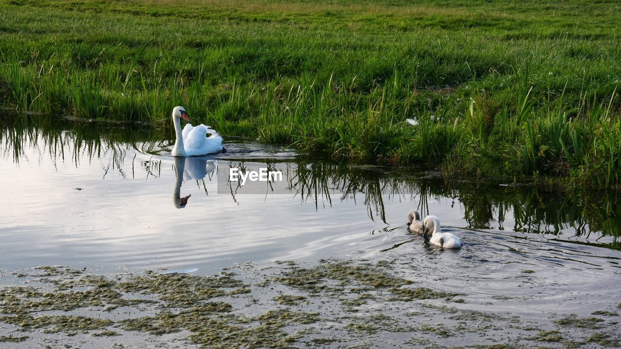 animal themes, animal, vertebrate, water, animal wildlife, animals in the wild, plant, lake, group of animals, bird, nature, grass, no people, day, swan, swimming, green color, young animal, outdoors, cygnet, animal family