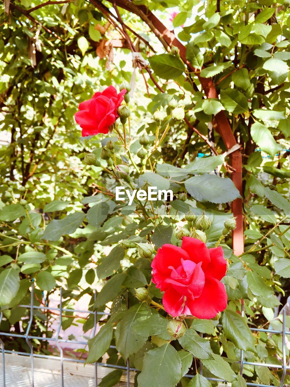 plant, flower, flowering plant, beauty in nature, plant part, leaf, growth, fragility, freshness, vulnerability, red, rose, nature, petal, close-up, pink color, inflorescence, rose - flower, no people, tree, flower head, outdoors, spring