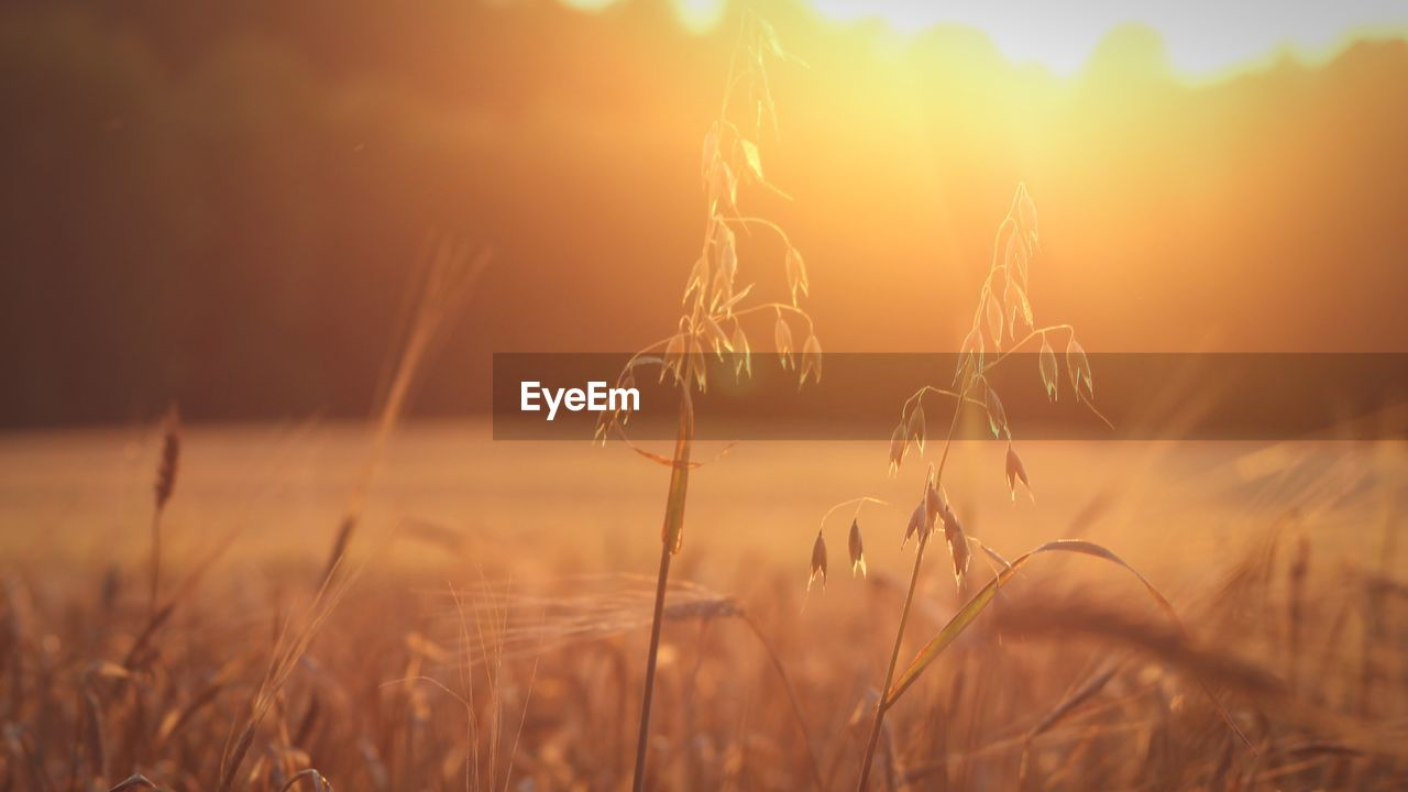 plant, growth, land, field, tranquility, beauty in nature, sky, crop, sunset, nature, agriculture, landscape, tranquil scene, rural scene, no people, cereal plant, close-up, selective focus, grass, sunlight, outdoors