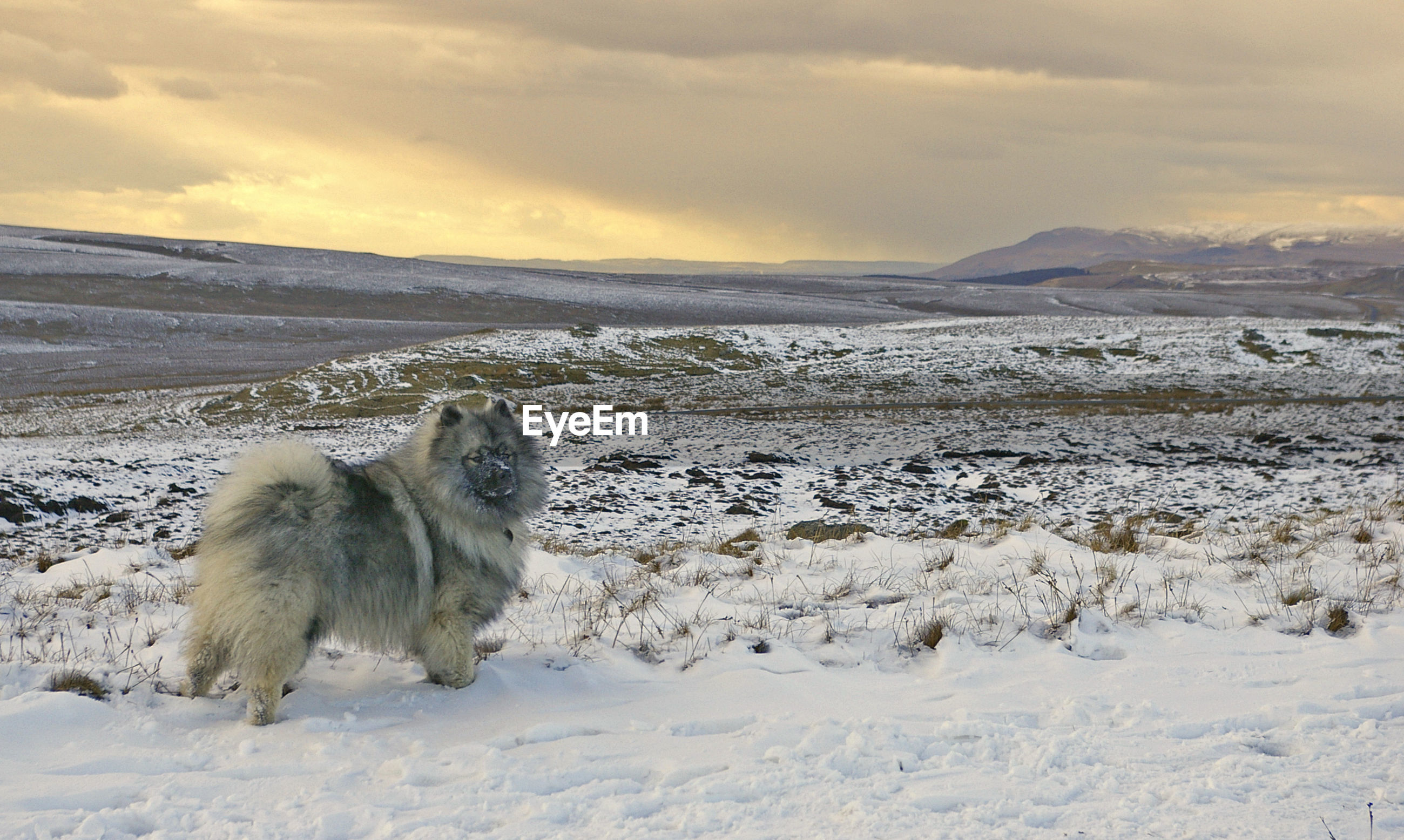 Keeshond looking away on snowcapped field at sunset