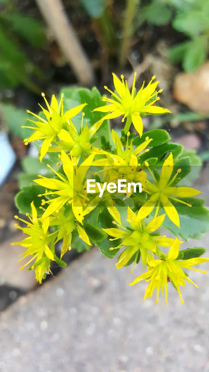 plant, flower, flowering plant, growth, beauty in nature, close-up, yellow, freshness, nature, day, fragility, focus on foreground, vulnerability, no people, flower head, inflorescence, petal, green color, outdoors, selective focus