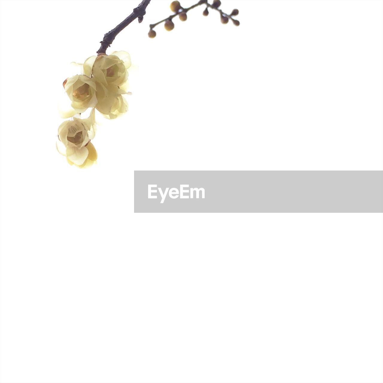 flower, copy space, no people, yellow, white background, petal, nature, studio shot, beauty in nature, fragility, close-up, growth, flower head, animal themes, day, freshness, outdoors
