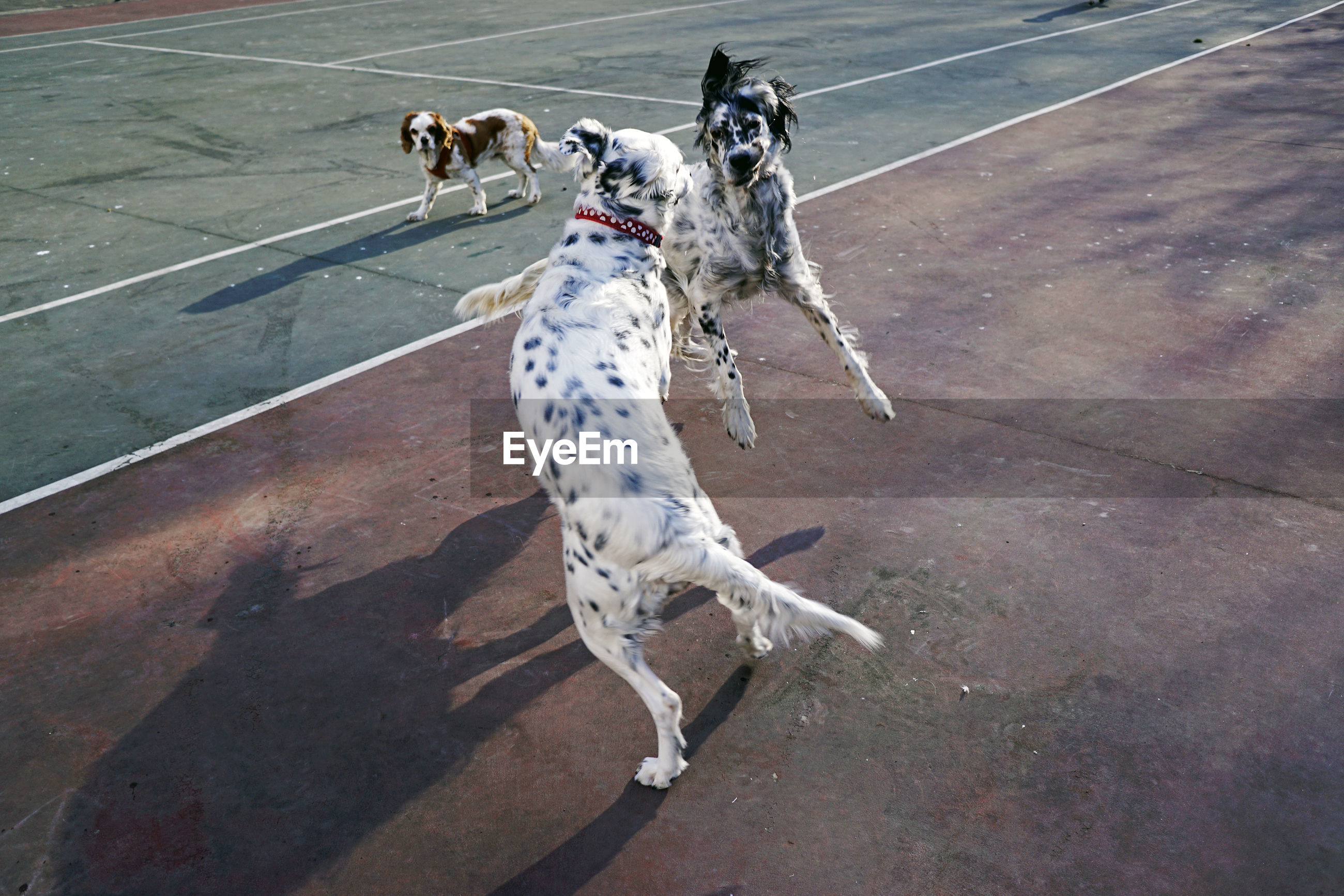 HIGH ANGLE VIEW OF DOG PLAYING ON THE ROAD