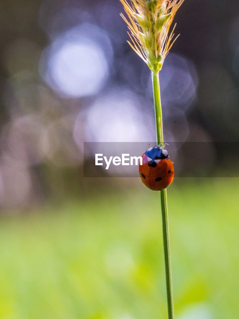ladybug, beetle, plant, insect, invertebrate, animal, focus on foreground, animal wildlife, animal themes, animals in the wild, one animal, nature, close-up, day, spotted, no people, plant stem, outdoors, flower, growth, small