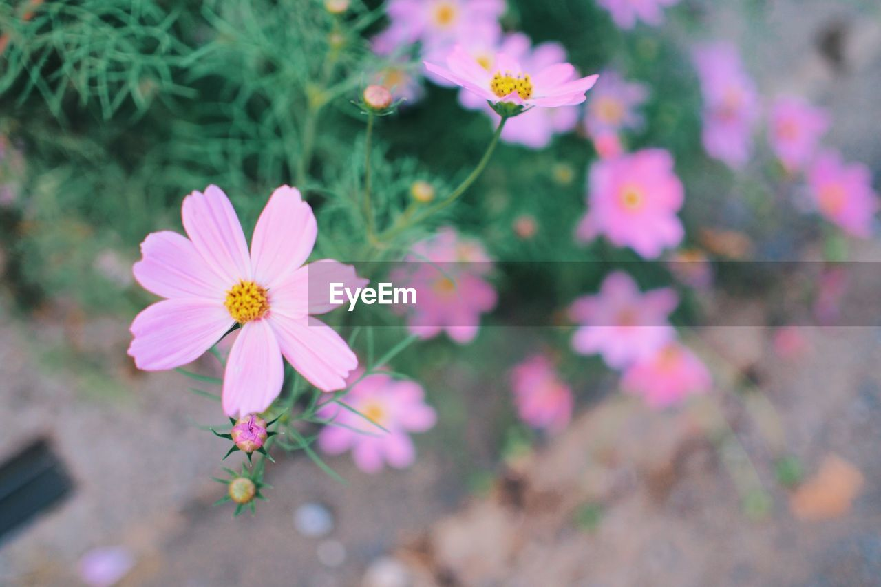 flower, flowering plant, fragility, freshness, vulnerability, plant, petal, beauty in nature, growth, flower head, pink color, inflorescence, close-up, cosmos flower, nature, no people, pollen, day, focus on foreground, high angle view, outdoors