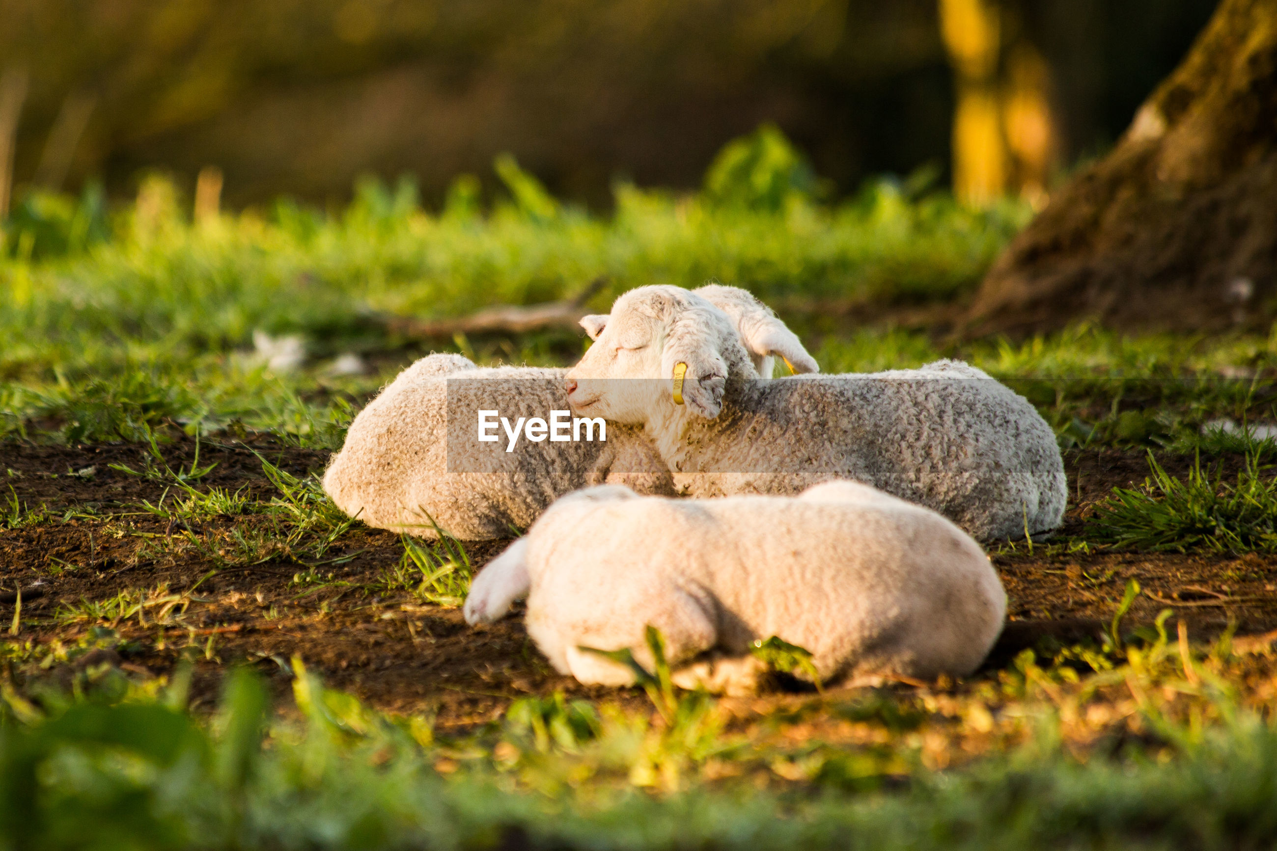 Sheep resting on field