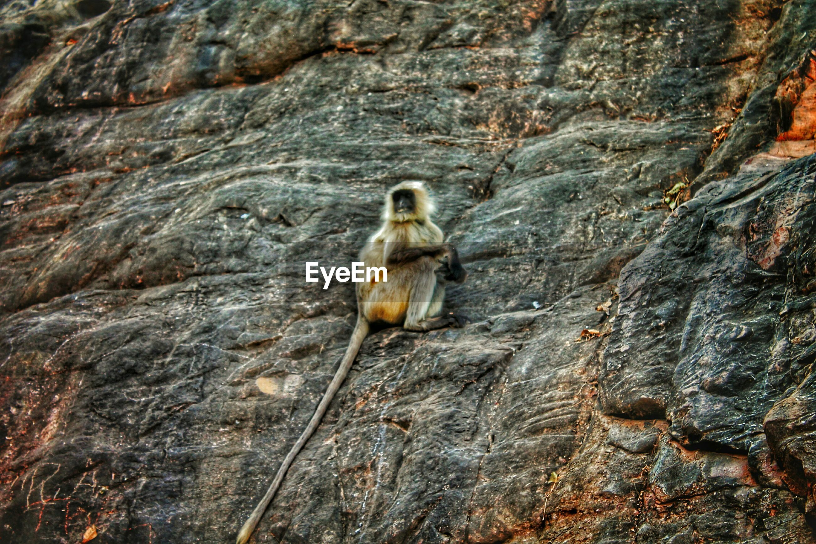 Low angle view of gray langur on rock
