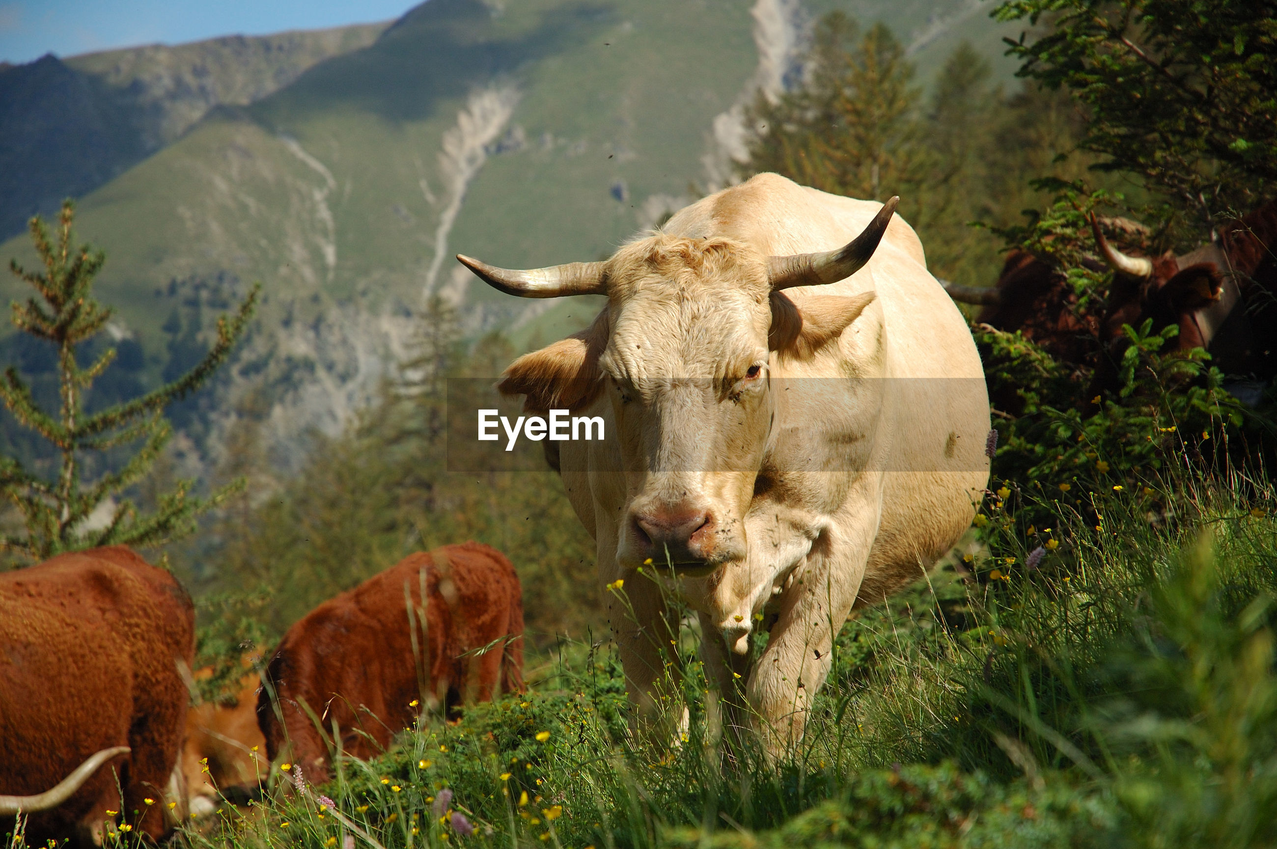 VIEW OF COW ON FIELD