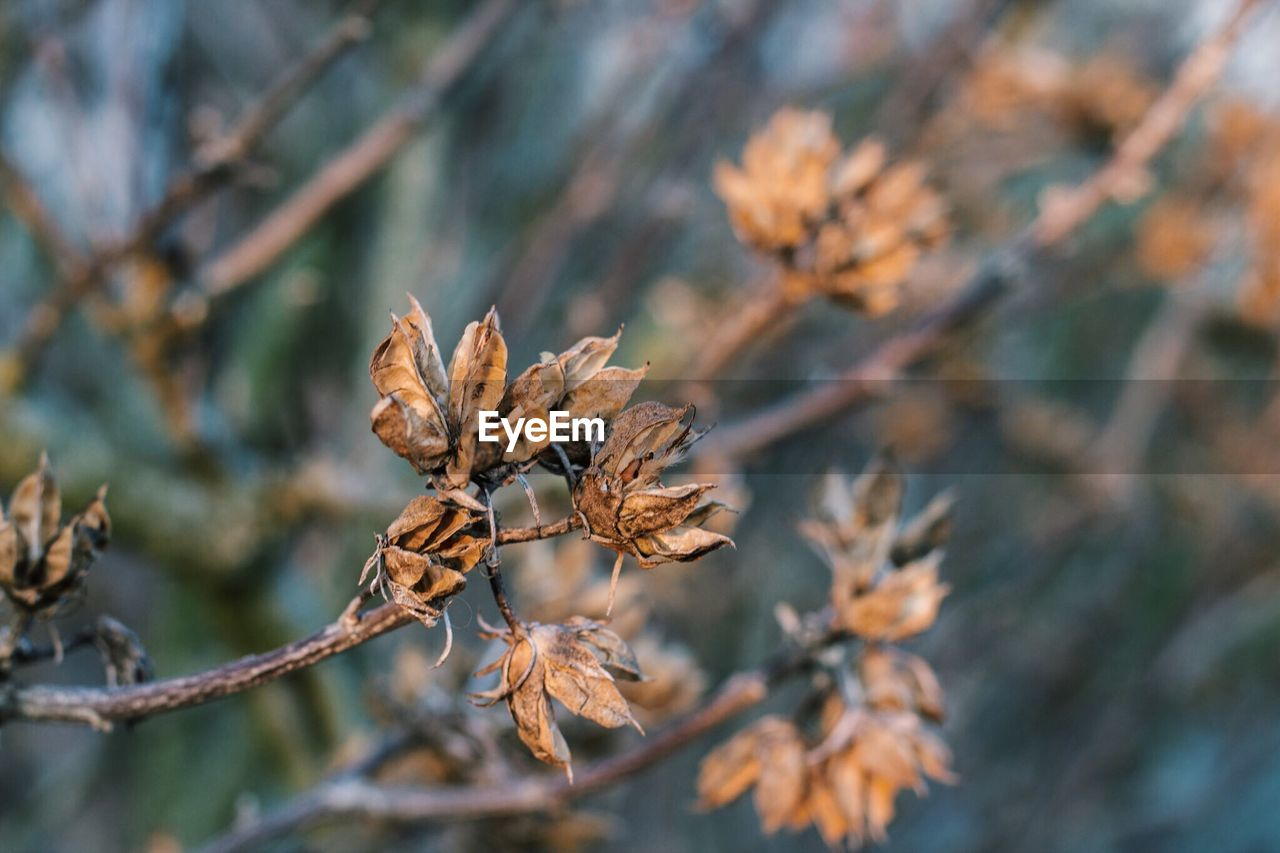 Dry leaves on tree