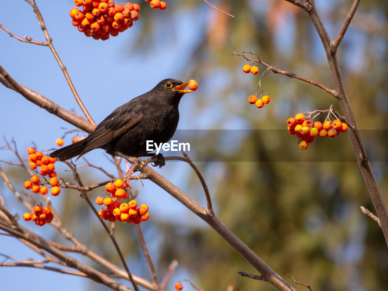 bird, vertebrate, perching, animal, animal themes, animals in the wild, animal wildlife, food, plant, tree, focus on foreground, food and drink, branch, fruit, no people, day, healthy eating, nature, outdoors, low angle view, blackbird