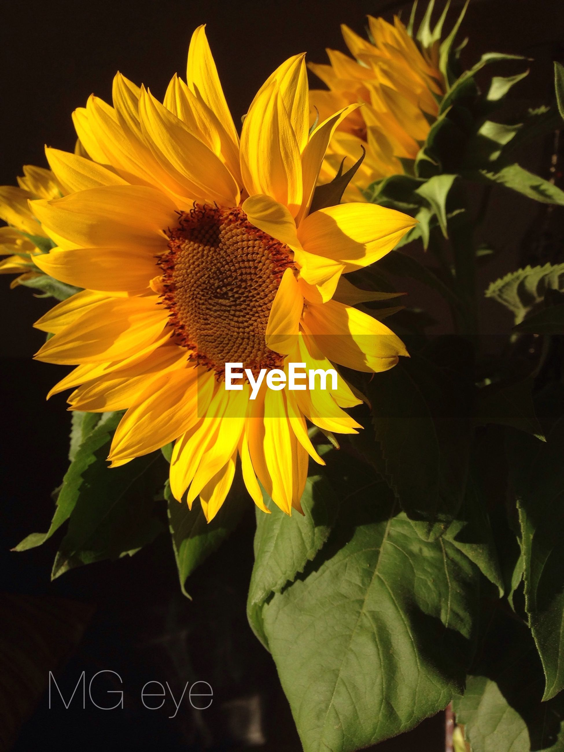flower, petal, yellow, flower head, freshness, fragility, growth, beauty in nature, sunflower, plant, blooming, close-up, single flower, nature, pollen, leaf, in bloom, no people, blossom, focus on foreground