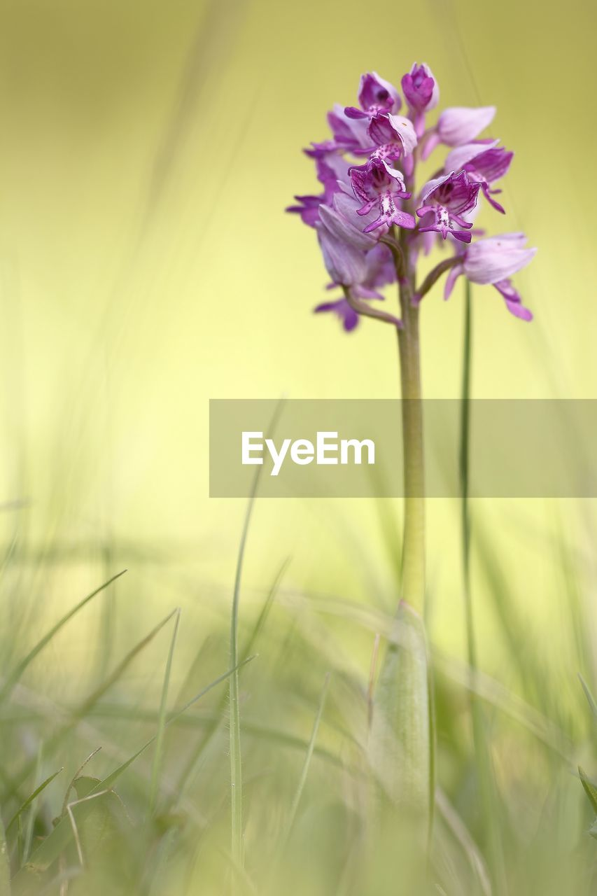 plant, flowering plant, flower, fragility, vulnerability, beauty in nature, growth, freshness, petal, close-up, selective focus, nature, inflorescence, flower head, no people, field, land, plant stem, green color, purple, outdoors, sepal, blade of grass