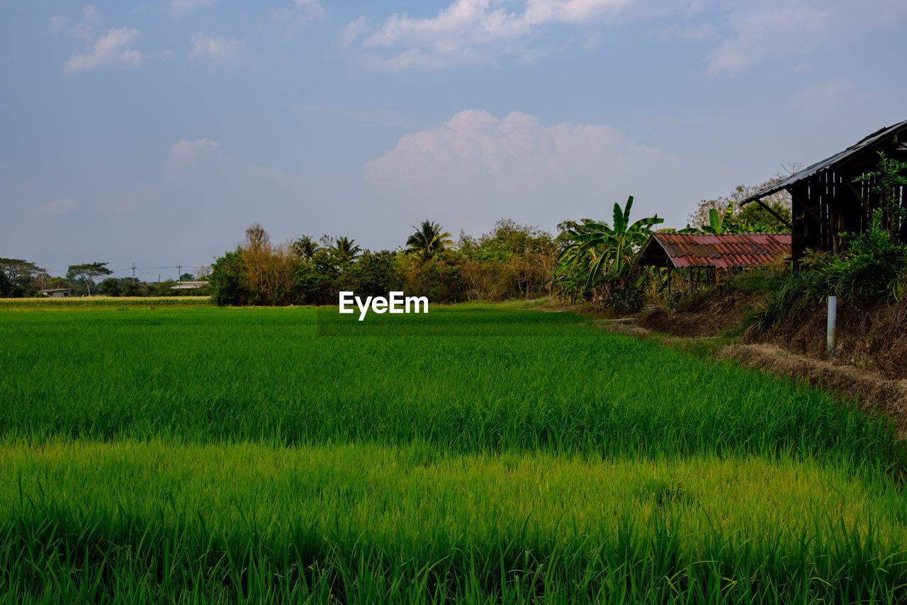 field, agriculture, growth, landscape, nature, green color, tranquil scene, beauty in nature, rural scene, tranquility, grass, sky, scenics, tree, no people, day, rice paddy, rice - cereal plant, cloud - sky, outdoors