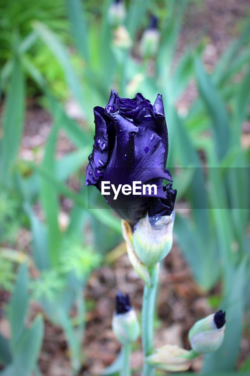 plant, flowering plant, flower, beauty in nature, vulnerability, growth, fragility, close-up, purple, nature, petal, freshness, focus on foreground, day, inflorescence, no people, flower head, plant stem, land, animal themes, iris - plant, pollination