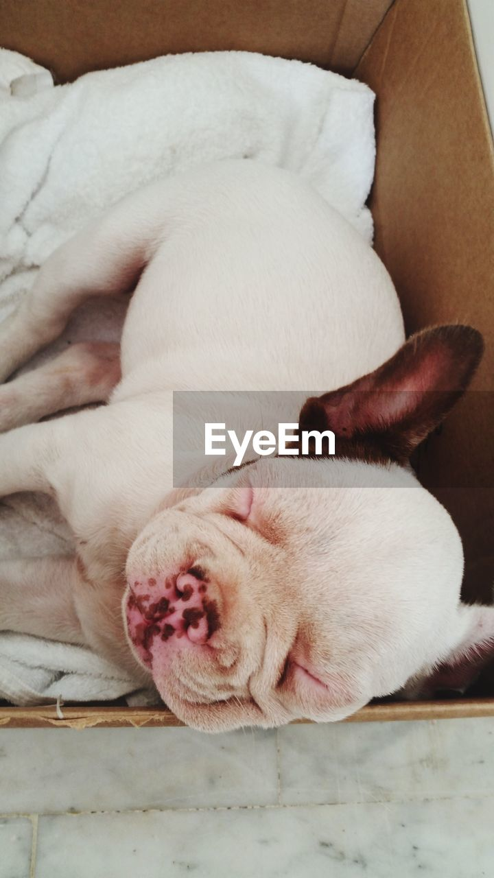 animal themes, domestic animals, pets, mammal, one animal, sleeping, dog, indoors, relaxation, no people, close-up, day