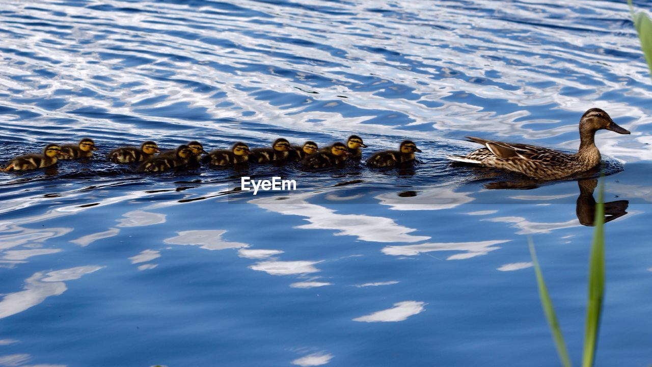 Mallard Duck With Ducklings Swimming On Lake