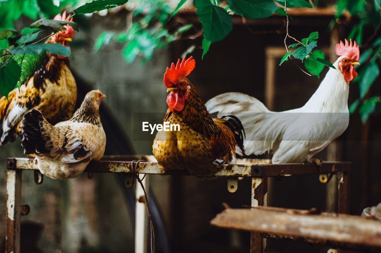 bird, animal, animal themes, livestock, vertebrate, chicken - bird, chicken, group of animals, domestic animals, domestic, pets, mammal, day, no people, rooster, nature, hen, selective focus, outdoors, male animal