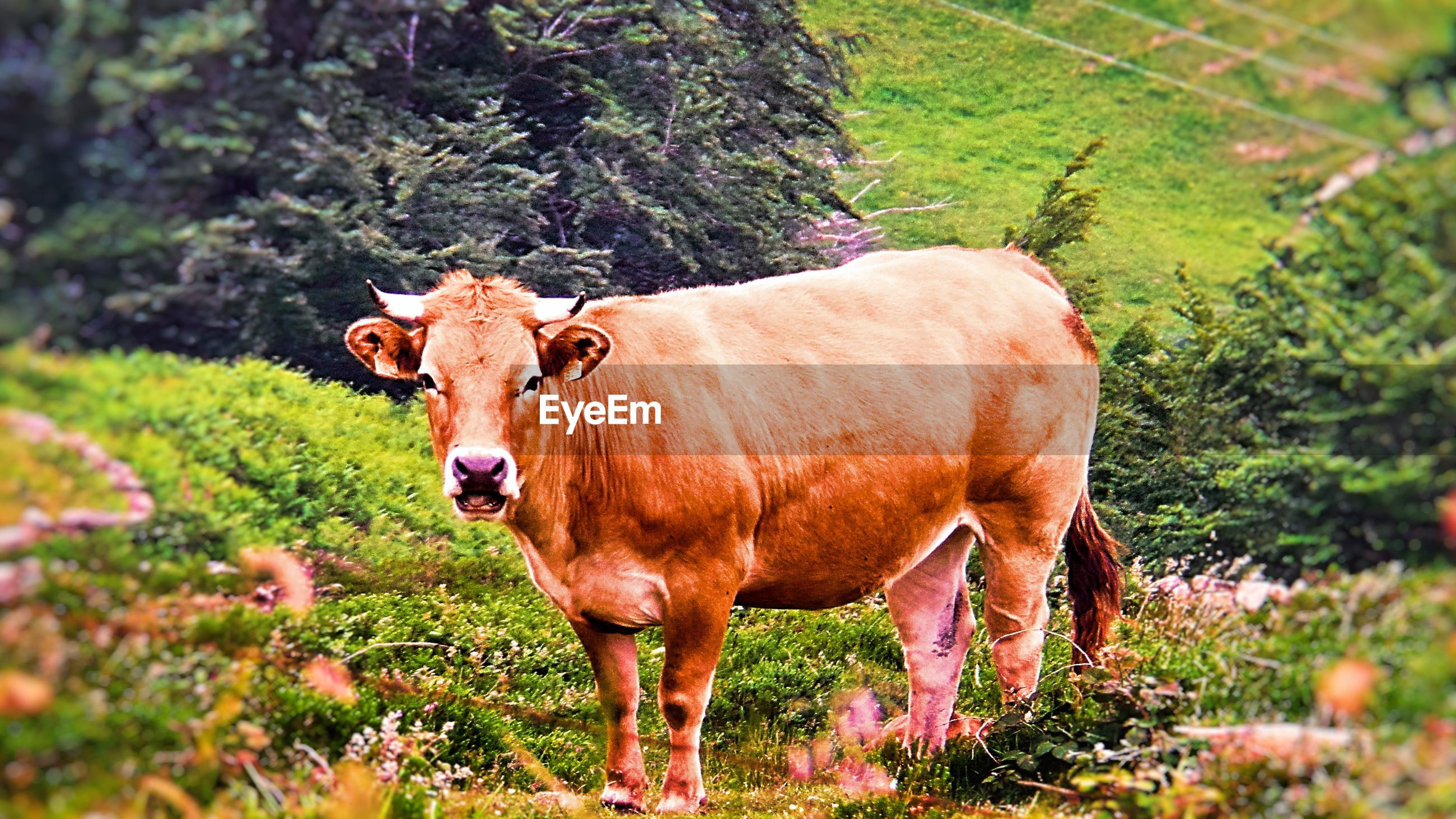 domestic animals, domestic cattle, cow, livestock, animal themes, mammal, cattle, one animal, field, standing, grass, nature, tree, day, highland cattle, outdoors, no people, farm animal, grazing, landscape, full length, beauty in nature