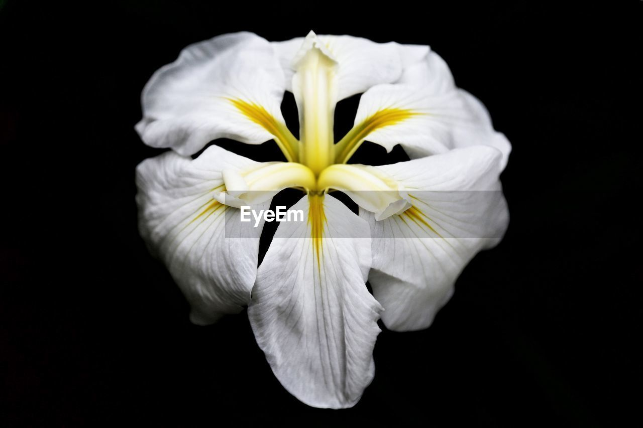 flowering plant, flower, vulnerability, fragility, freshness, petal, inflorescence, flower head, studio shot, black background, plant, close-up, beauty in nature, white color, growth, yellow, nature, indoors, no people, pollen