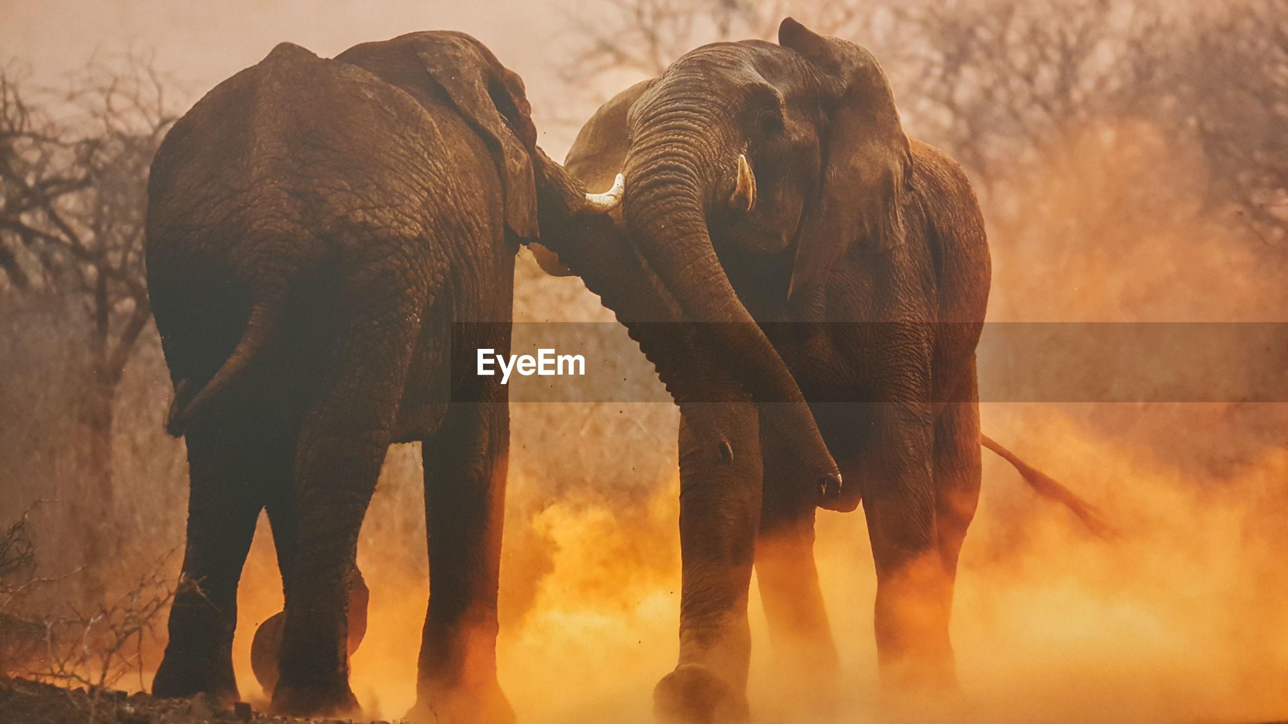 Elephants fighting on field
