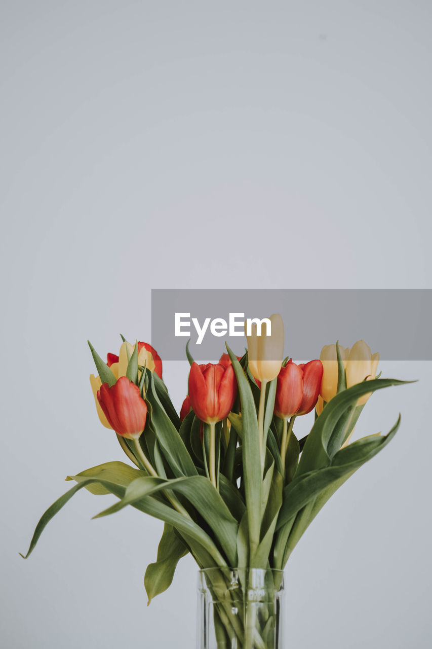 Close-up of tulips against white background