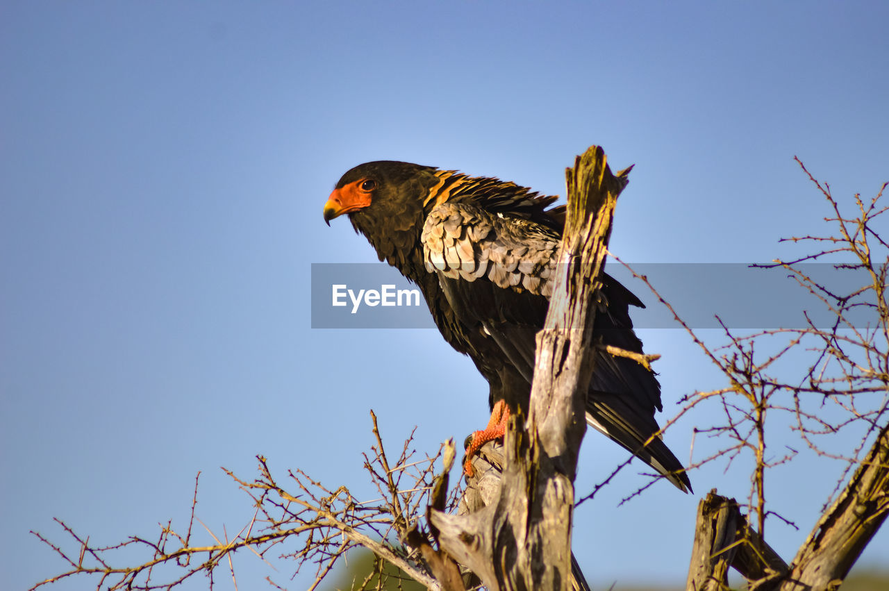 sky, bird, animal themes, animal, one animal, low angle view, vertebrate, animal wildlife, clear sky, animals in the wild, tree, bird of prey, branch, nature, perching, no people, day, plant, blue, sunlight, beak, eagle, falcon - bird