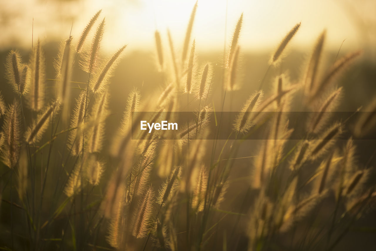 growth, field, nature, crop, agriculture, plant, tranquility, wheat, close-up, cereal plant, ear of wheat, no people, outdoors, beauty in nature, day, rural scene, grass, sky, freshness