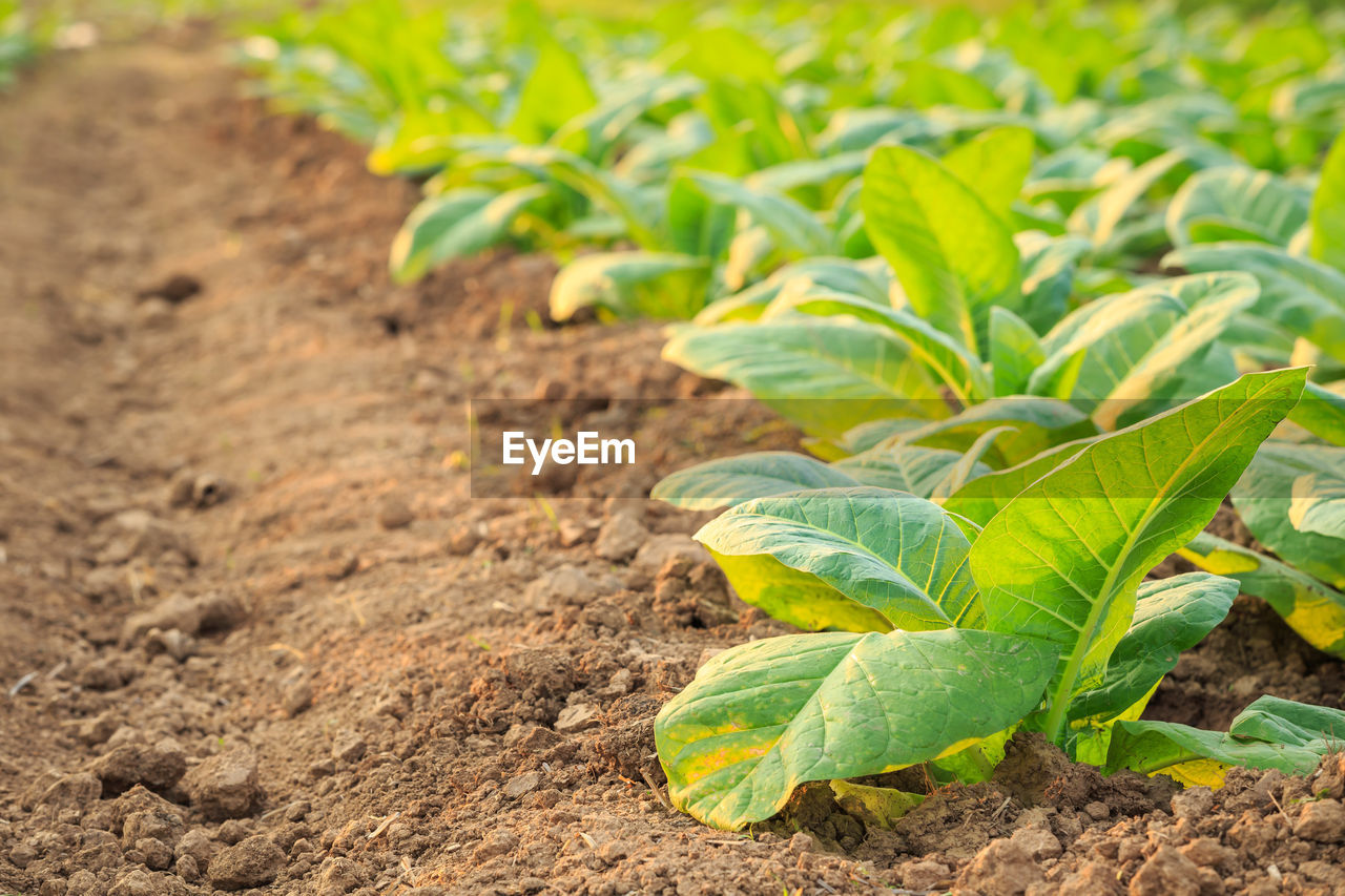 leaf, plant part, green color, growth, plant, field, land, nature, vegetable, no people, day, dirt, agriculture, beauty in nature, close-up, food, food and drink, focus on foreground, freshness, outdoors, gardening, plantation