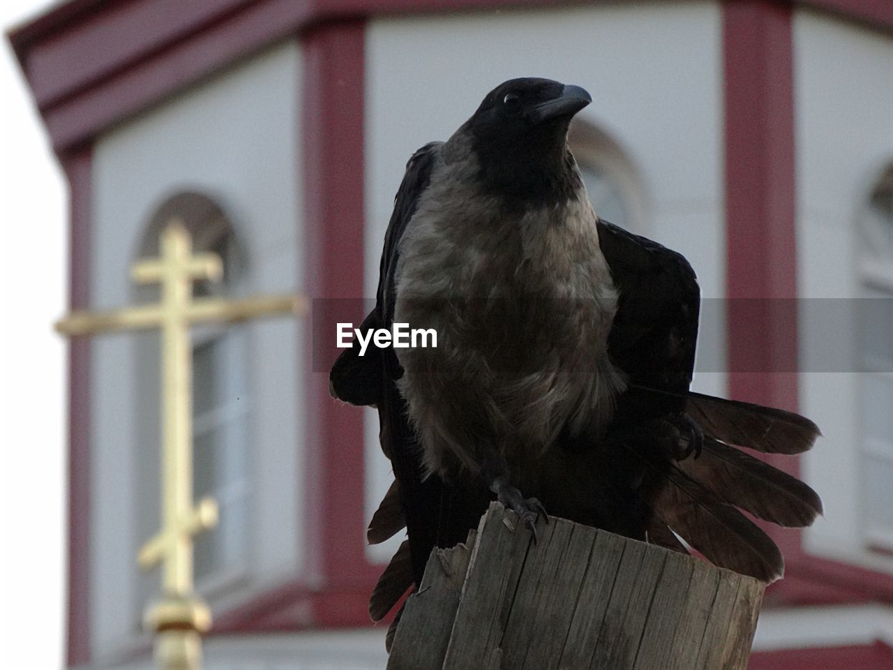 bird, animal, animal themes, vertebrate, one animal, animal wildlife, focus on foreground, animals in the wild, perching, wood - material, day, close-up, no people, built structure, architecture, outdoors, building exterior, black color, nature, post, wooden post, mouth open