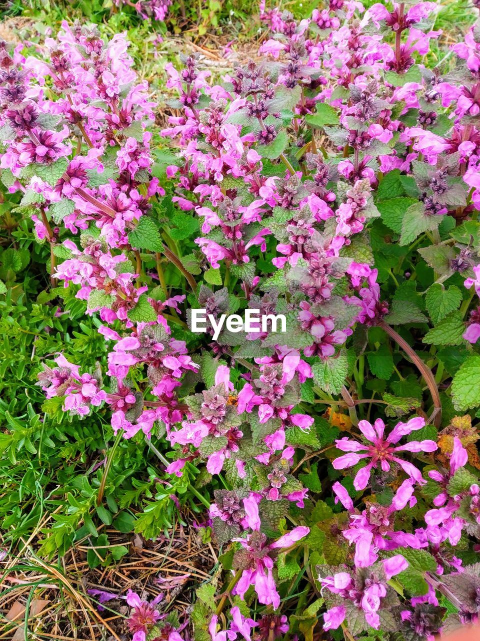 flowering plant, flower, plant, beauty in nature, freshness, pink color, growth, vulnerability, fragility, petal, close-up, nature, day, inflorescence, no people, flower head, botany, outdoors, full frame, land, springtime, purple