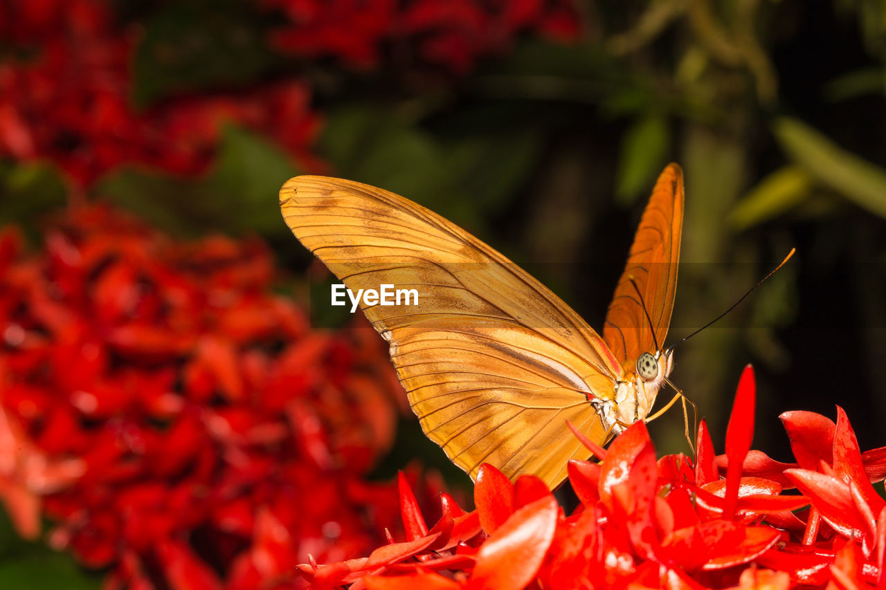 invertebrate, red, one animal, vulnerability, flower, fragility, insect, flowering plant, beauty in nature, animal themes, plant, freshness, petal, growth, animals in the wild, close-up, animal wildlife, animal wing, animal, flower head, butterfly - insect, no people, pollen, pollination, outdoors, butterfly