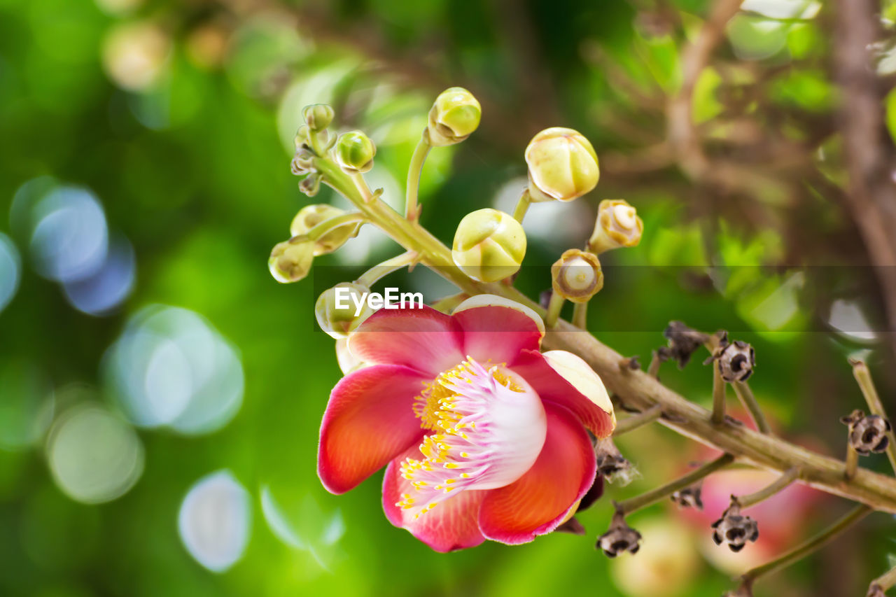 flower, growth, plant, flowering plant, fragility, vulnerability, beauty in nature, freshness, close-up, petal, focus on foreground, no people, nature, inflorescence, flower head, day, bud, tree, selective focus, outdoors, pollen, spring