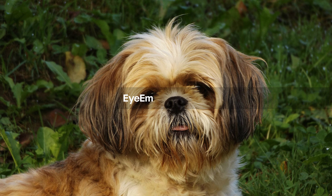 one animal, domestic, pets, animal themes, dog, canine, animal, domestic animals, mammal, vertebrate, portrait, animal hair, looking at camera, close-up, lap dog, no people, field, animal body part, focus on foreground, land, shih tzu, small, animal head